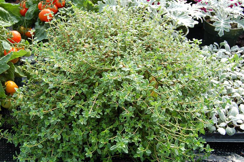 Thymus serpyllum Creeping thyme