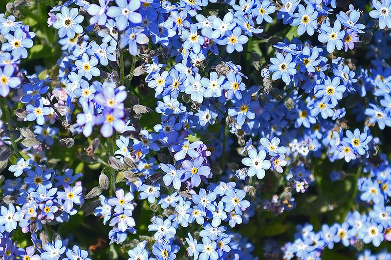 Myosotis alpestris dwarf Victoria blue