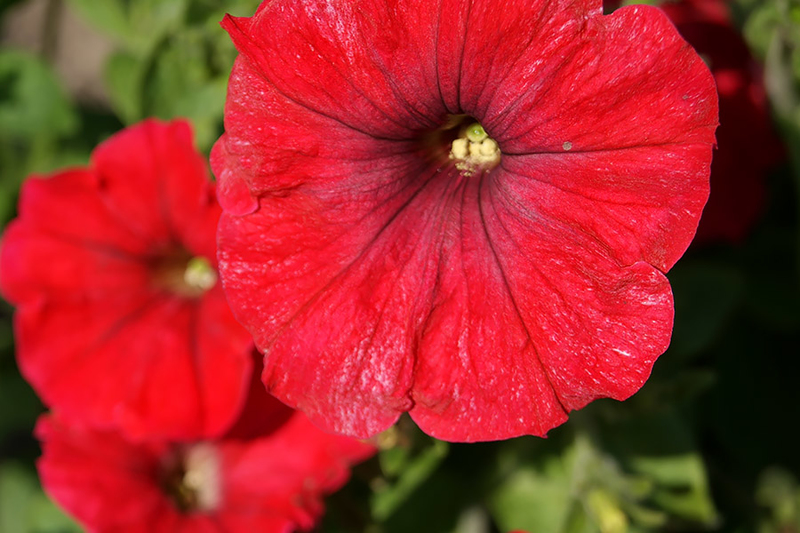 Petunia hybrida nana compacta Fire Chief scarlet