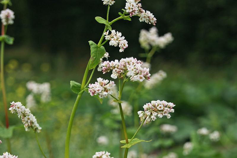 Fagopyrum esculentum Buckweat